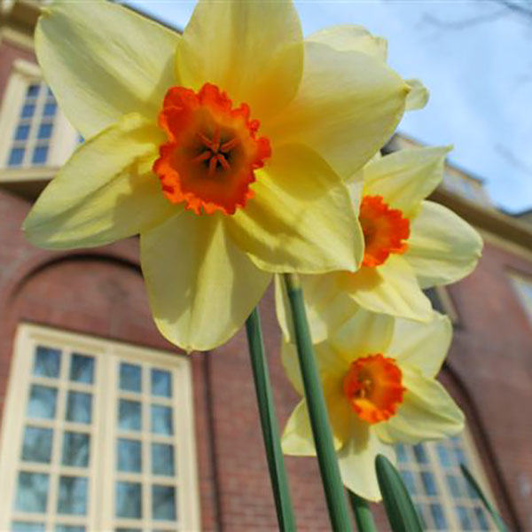 A photo of daffodils.